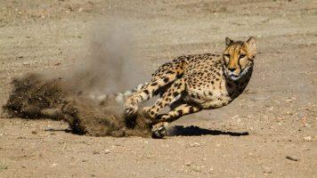 La increíble amistad entre un humano y un guepardo